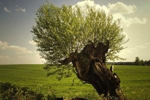 vrba-drevo